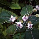 Clerodendrum infortunatum